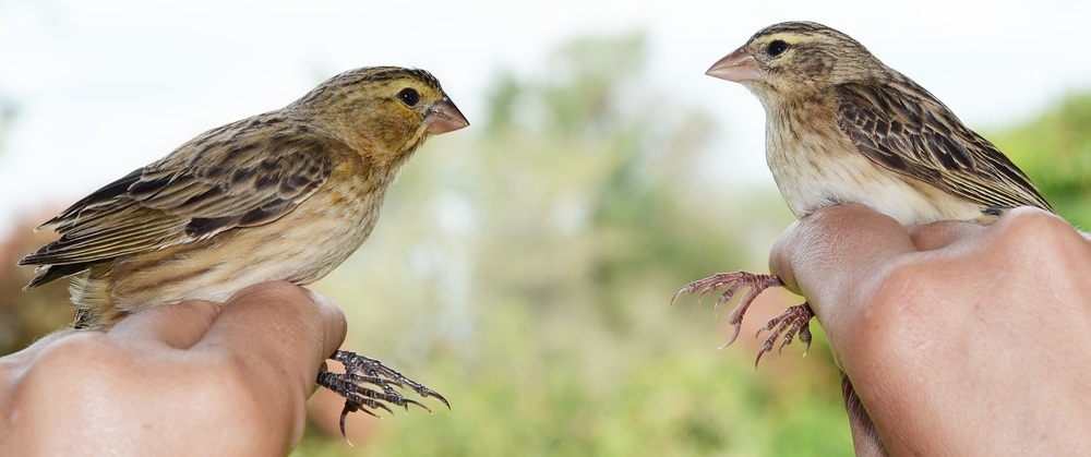African cuckoo finches (left) seem to have evolved to look like harmless bishops (right) in an attempt to trick their prinia hosts into thinking they're harmless. Image by Claire Spottiswoode.