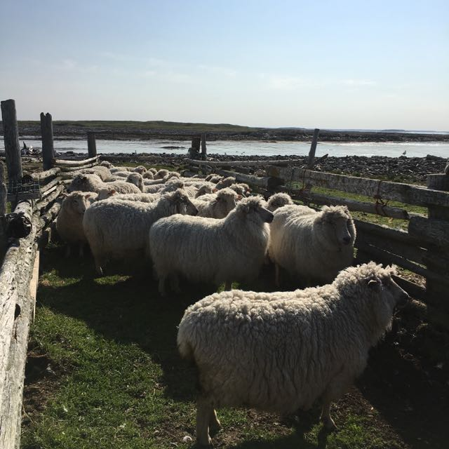 Spring Flock Before Shearing