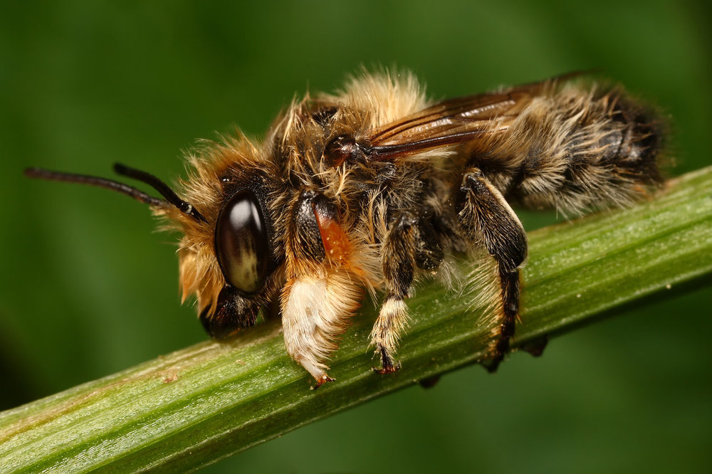 http://macrojunkie.deviantart.com            Megachile perihirta ( male) - these guys clearly get stuck in the rain a lot :)