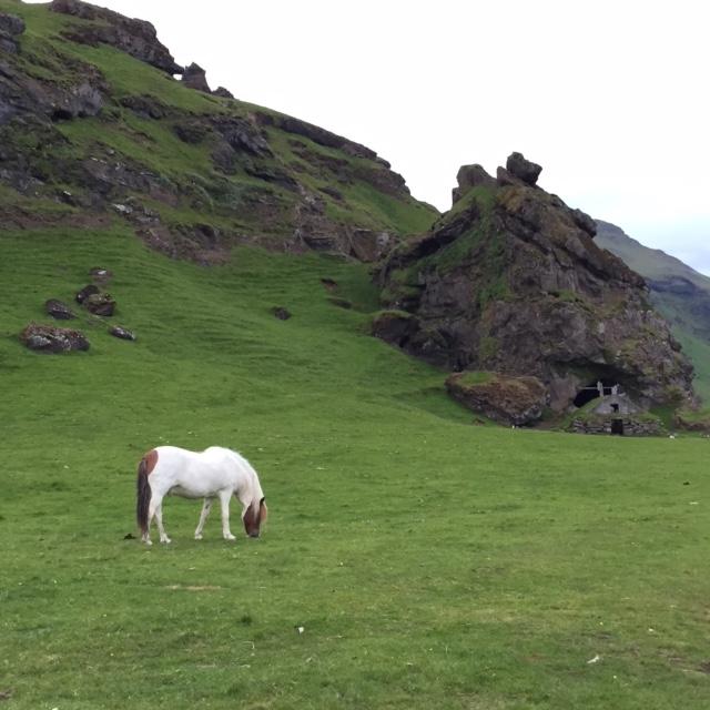My Little Icelandic Pony
