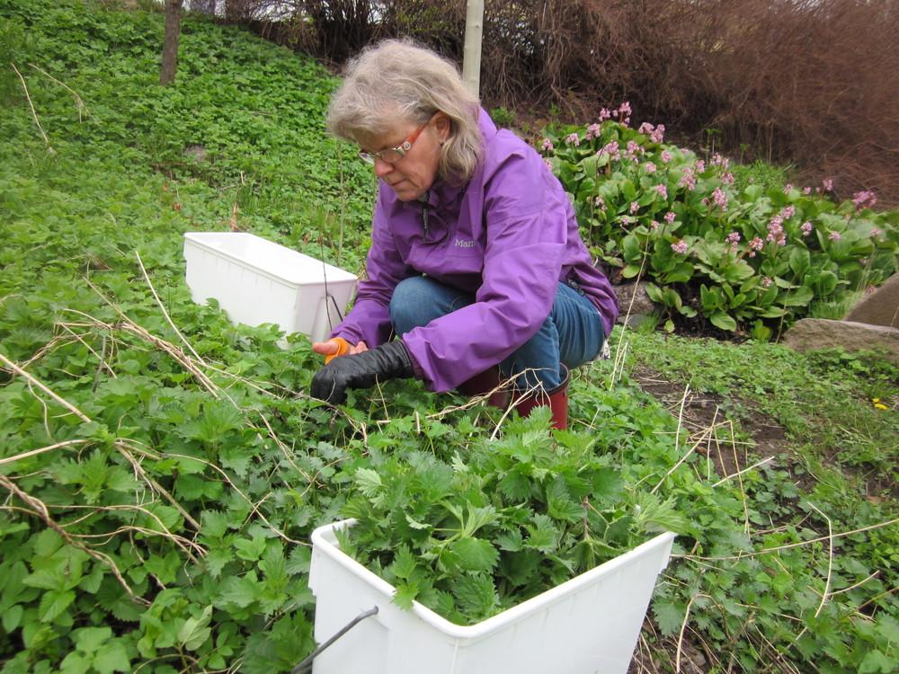 våren er travel med høsting både hjemme i hagen og