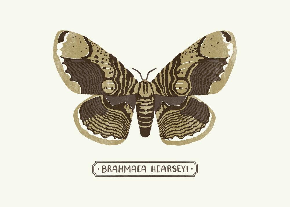 Brahmin Moth9_1.jpg