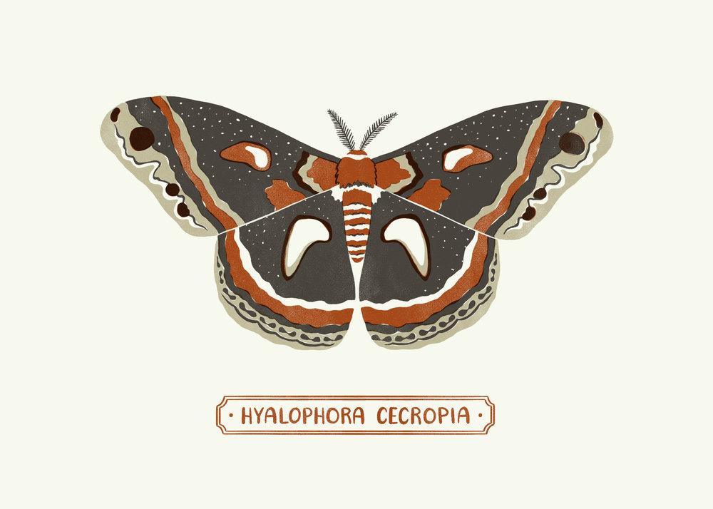 Cecropia Moth3_1.jpg