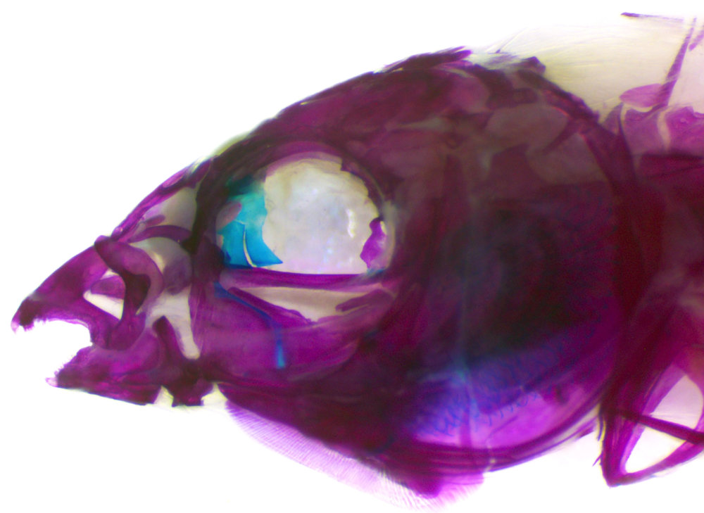 Larabicus quadrilineatus ,   cleared & stained