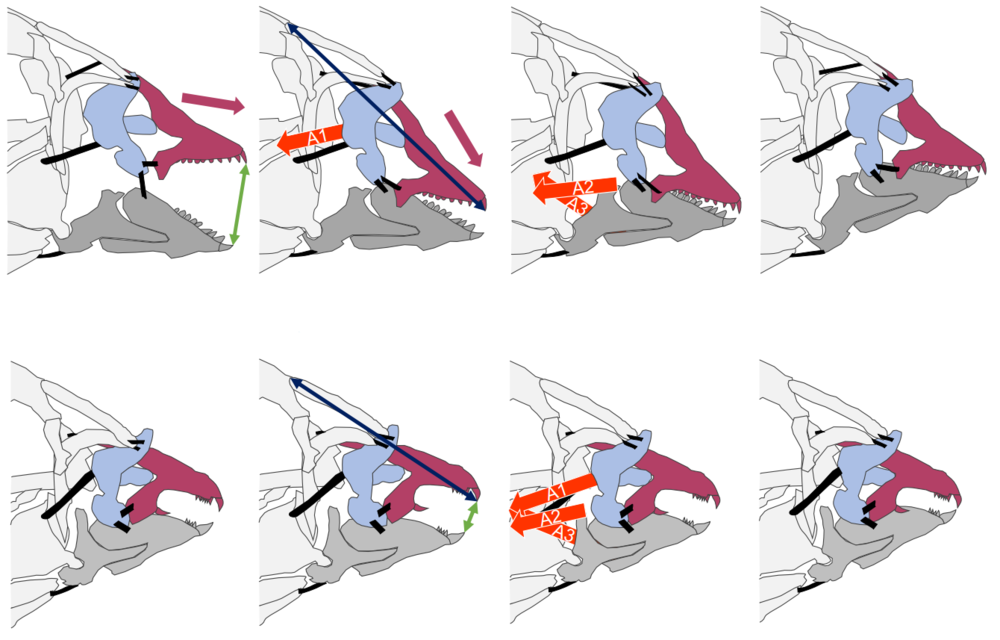In most wrasses (including many cleaners), the premaxillae rapidly move anteroventrally to meet the lower jaws and deliver a protruded bite (upper series). In Labrichthyine wrasses (which includes obligate cleaners), the reduction of the maxillary crest results in faster bites with less jaw protrusion (lower series). These species have simplified the art of biting.