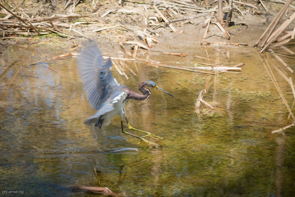 Non-Breeding Adult Tricolored Heron