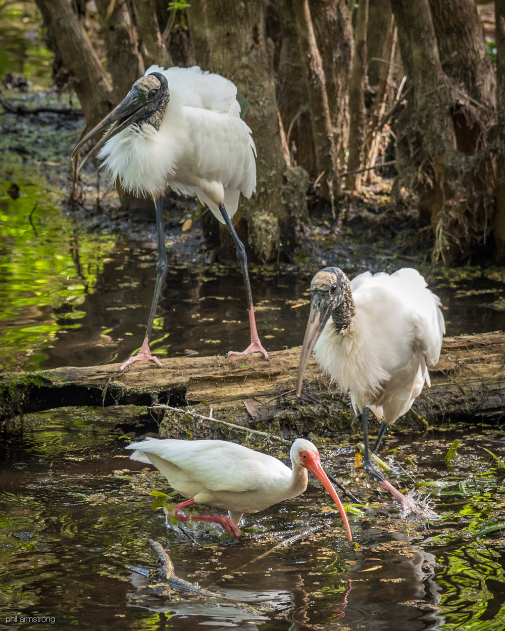 Wood Storks and a White Ibis