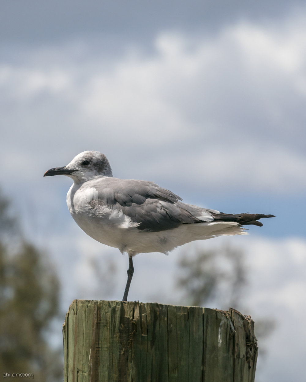 Non-Breeding Adult Laughing Gull