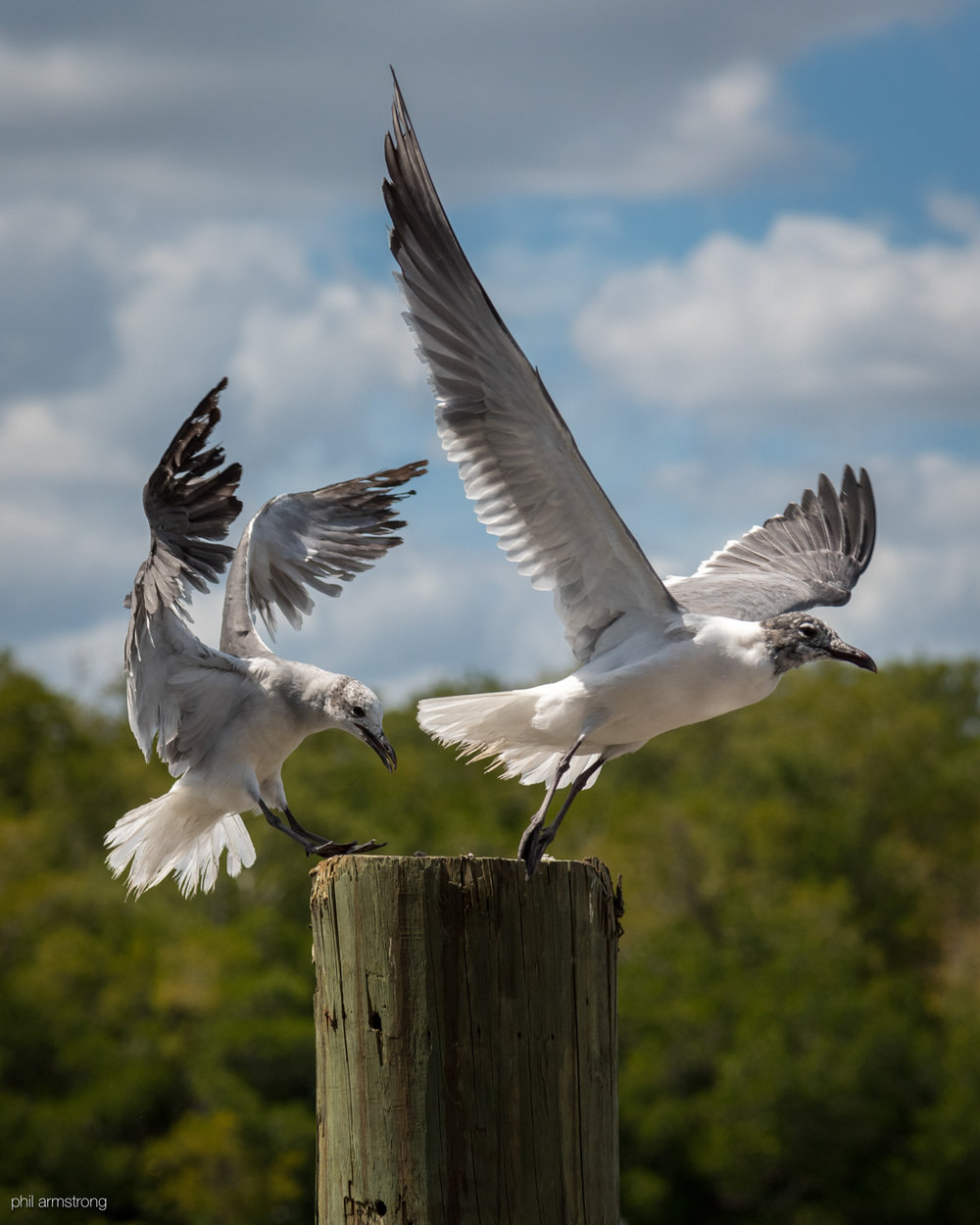 Non-Breeding Adult Laughing Gulls