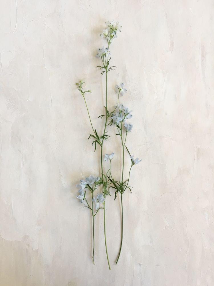 Japanese Delphinium