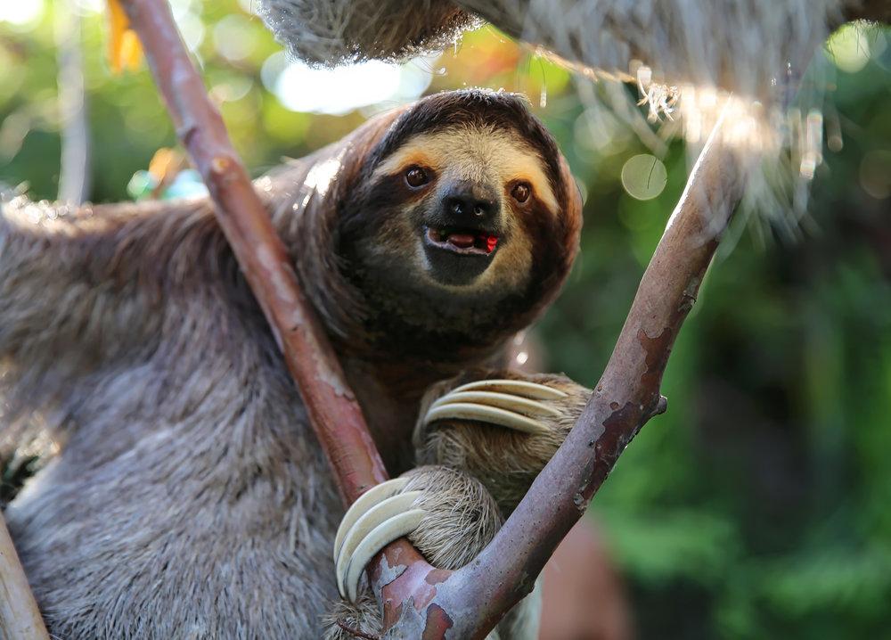 Happy Rescued Sloth. El Valle de Anton, Panama.
