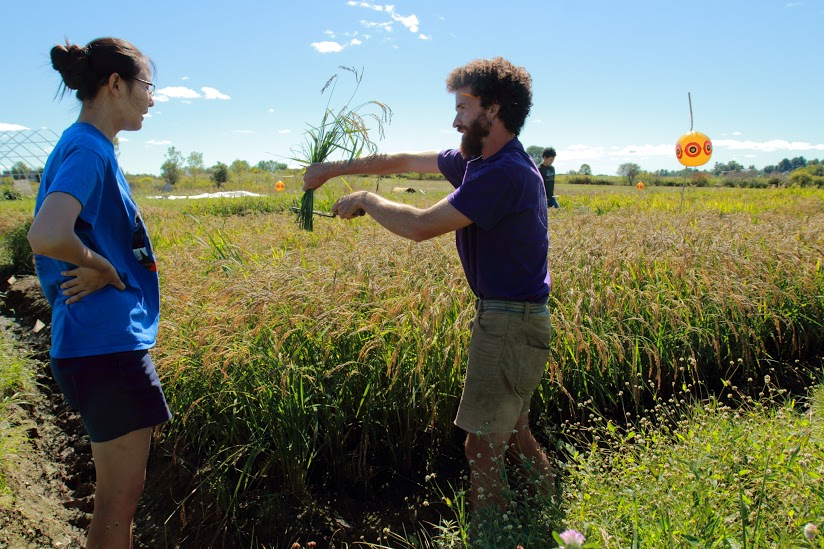 rice_cut_harvest_education_scything_Ben_CHB photo.jpeg