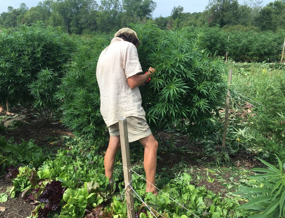 Zac enjoyed much of the lettuce and other vegetables we put between the hemp. Much of this interplanted  produce went to nearby camps.