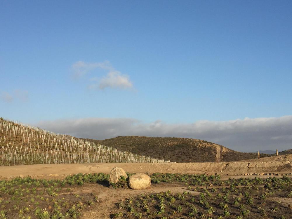 Vineyard at Cuatro Cuatros.