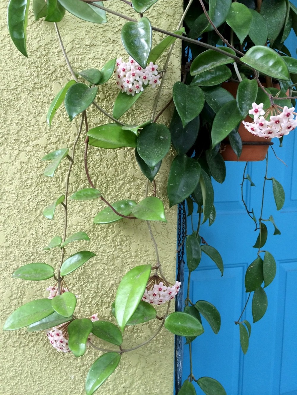 Wax Plant, Hoya Canosa / Photography by Debra S. Walling