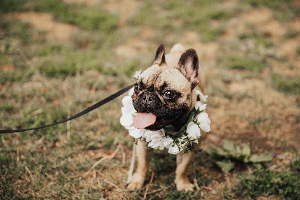 frenchie wedding