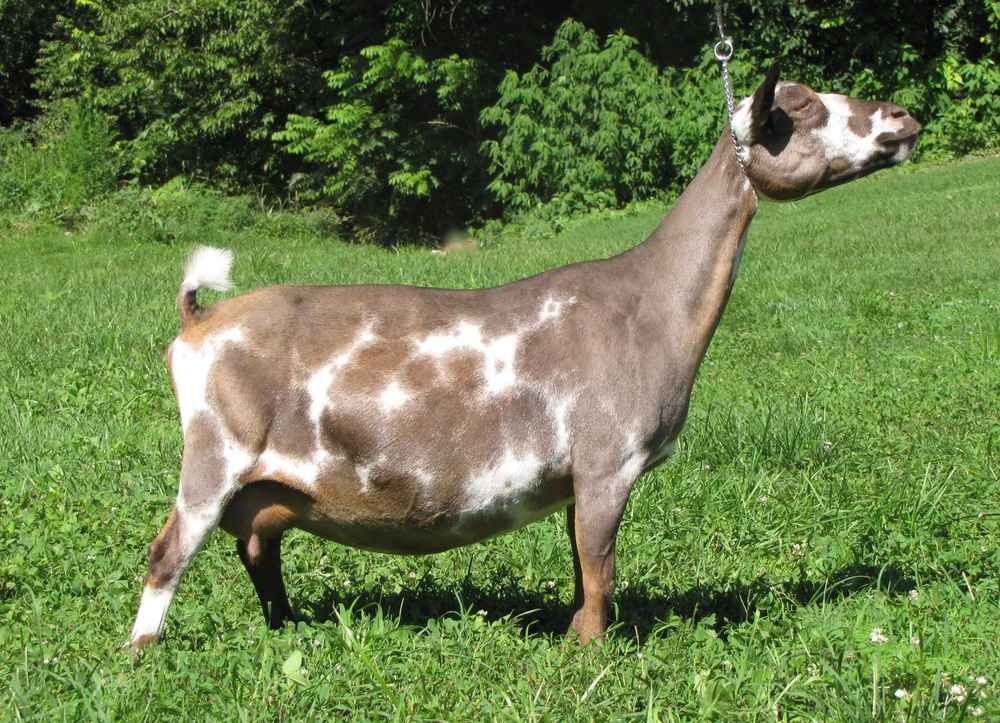 SGCH/ARMCH/PGCH Lost Valley TB Dipp'n Dots 1*M *D VEEE90  (8/18/06--  deceased )            (photo'd as dry doe)   Sire :ARMCH Lost Valley Tae-Bo ++*S ++B E91.4 2009 & 2010 AGS Nat'l Champion Buck Dam :MCH Pecan Hollow GL Faith   9x GCH, 9x BOB (Champion Challenge)  1x BIS,  2x Best Udder     2014 ANDDA Total Performer     2014 AGS National Top 10 1Day Milk Awards (3rd place)  ANDDA Sue Rucker Silver Award (2014)    Dam of the 2010 NDGA National Reserve JrGCH & 3 AGS Natl Top 10 daughters, 2 milking 1000#+