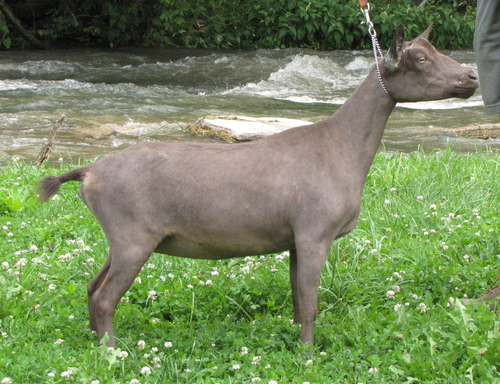 pictured as a dry yearling
