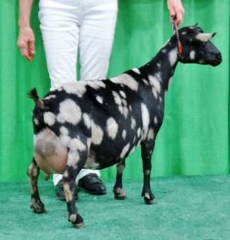 Isabella won SUPREME Udder at NAILE 2016 (Best udder over all breeds)