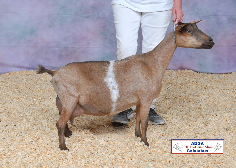 SGCH LTE Zamia *M EEEE91, 12x BOB, 1st Place Udder (Aged Doe) at 2018 ADGA Natl's (photo Courtesy of Steve Pope)