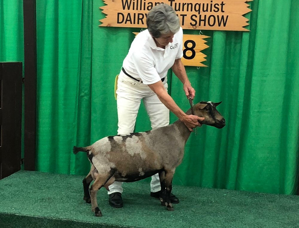 Oliver's litter sister SG Cedar View Olga 5*M, ADGA Elite Doe, 1100#+ Milker, 5.9# Milk Test High. Photo taken during NAILE— 10/18