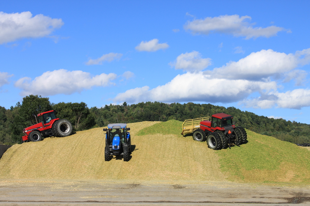 After we harvest our crops, we pile it into bunker silos, where it can be stored to feed our cows throughout the year.