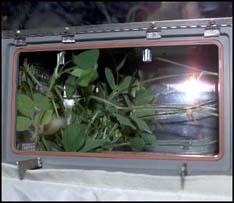 a tomato plant grown on the International Space Station