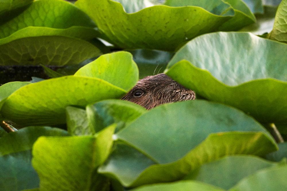 Beaver Peek