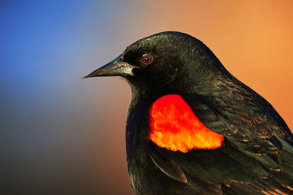 Red winged