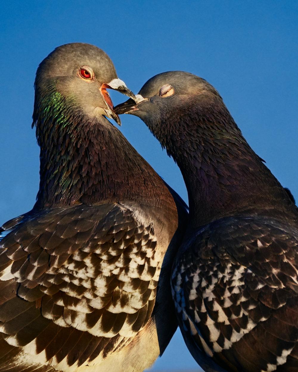 Pigeon_001.jpg
