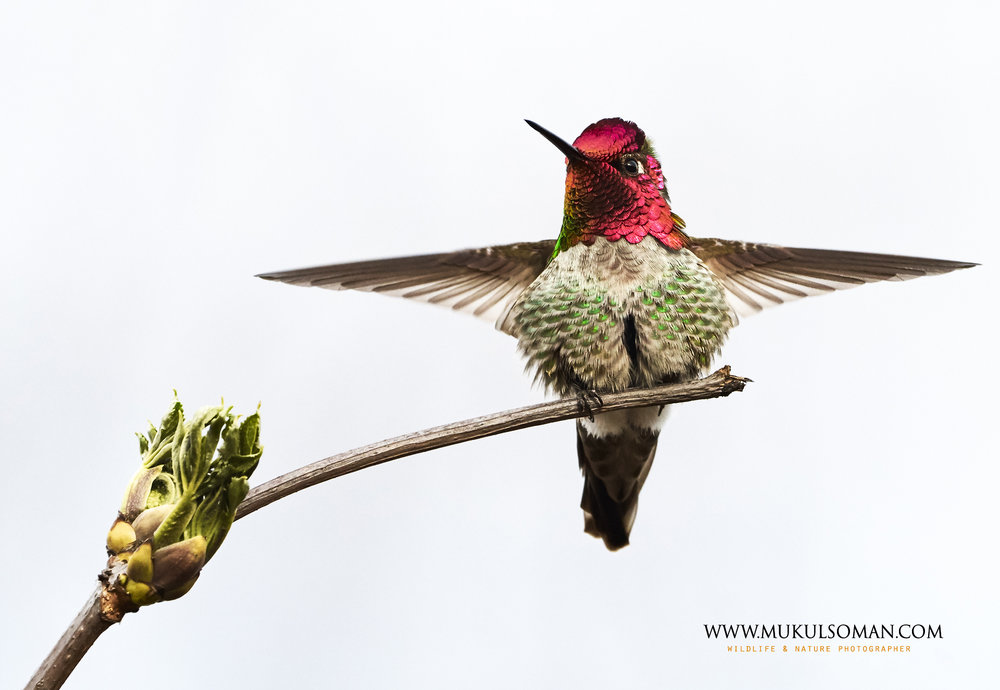 An Anna's hummingbird stretching out its wings. Camera : Nikon D500 Lens : Sigma 150-600 c Focal Length : 600 mm Aperture : f/6.3 Exposure : 1/1250 sec ISO : 640