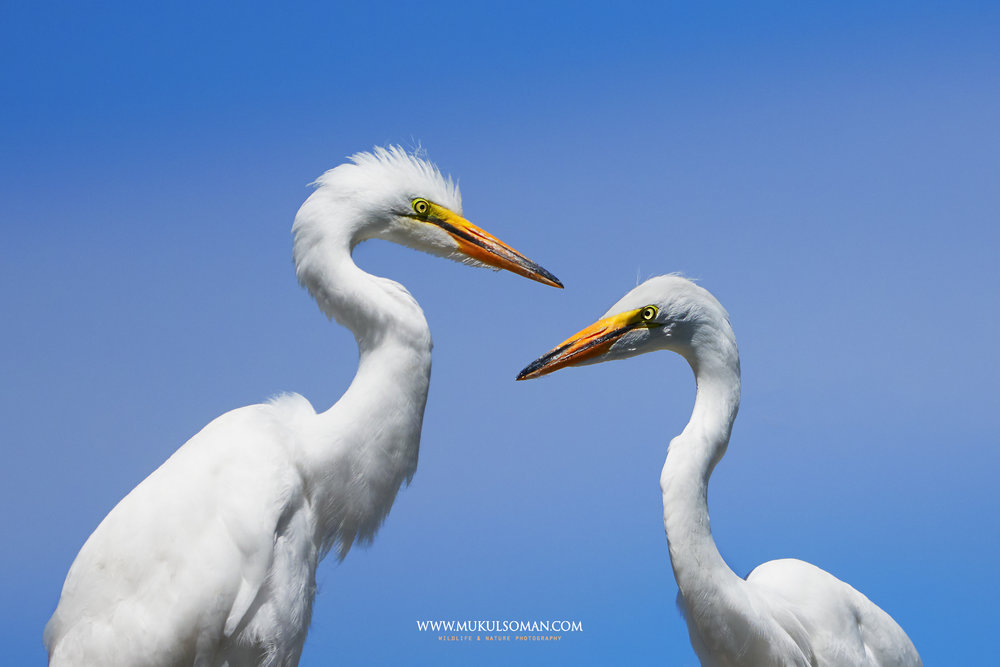 Pair of juvenile Great Egrets.  Camera : Nikon D500 | Focal Length : 600mm | Exposure : 1/2000 | Aperture : f/8 | ISO : 400