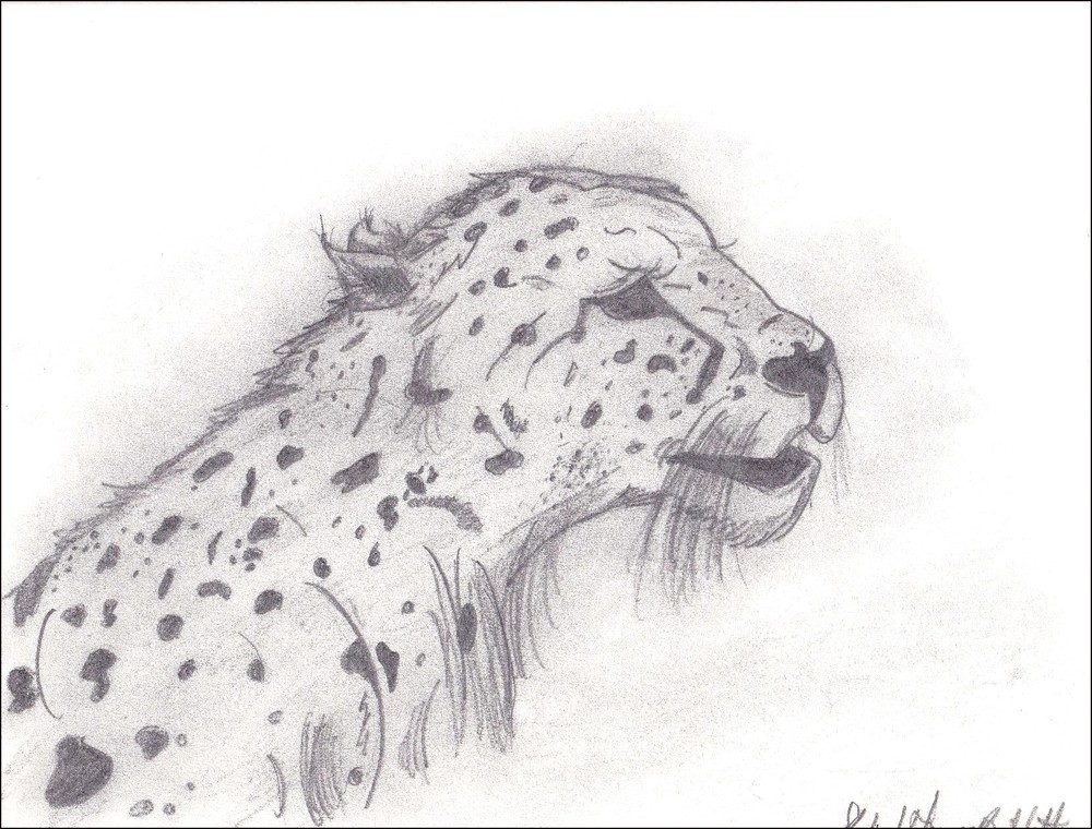 Mwanza Leopard Ricky Bartlett 1998 Pencil on Parchment 8 x 10