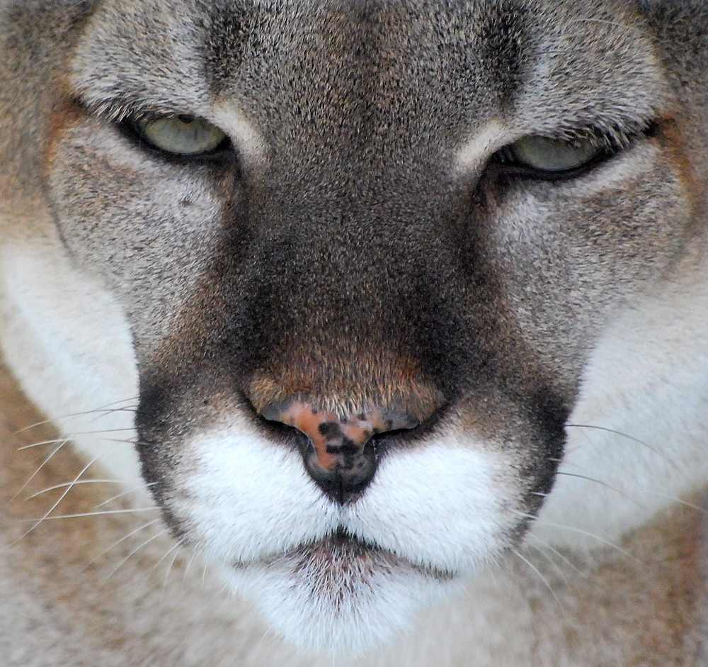 Cougar Staring At Me Nathan Fischer Photograph 11x11 or custom $100