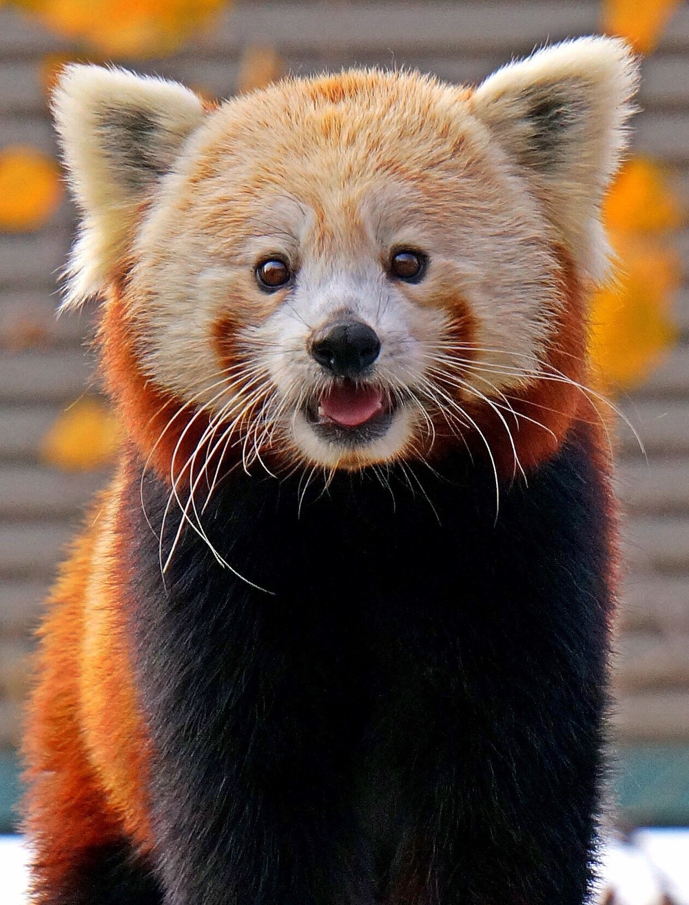 Red Panda Nathan Fischer 2009 Photograph 8.5x11 or custom $75