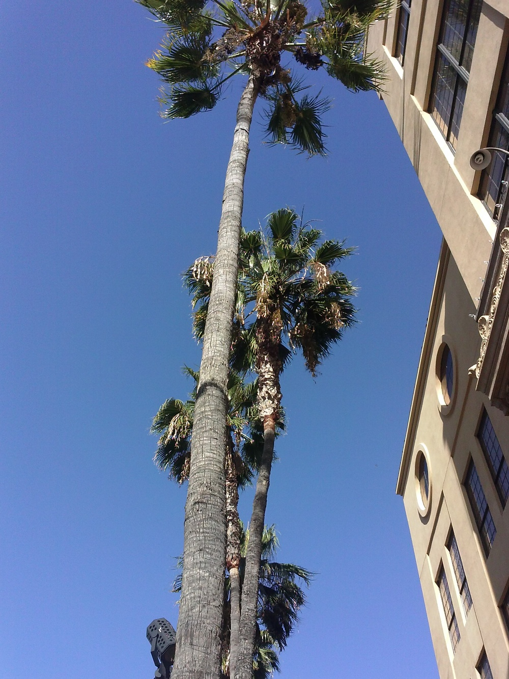 palm trees on Hollywood Blvd