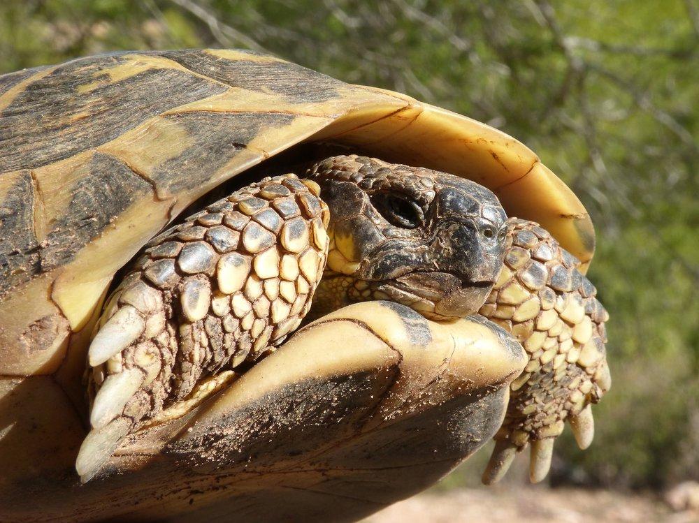 mediterranean-tortoise-1960026_1920.jpg