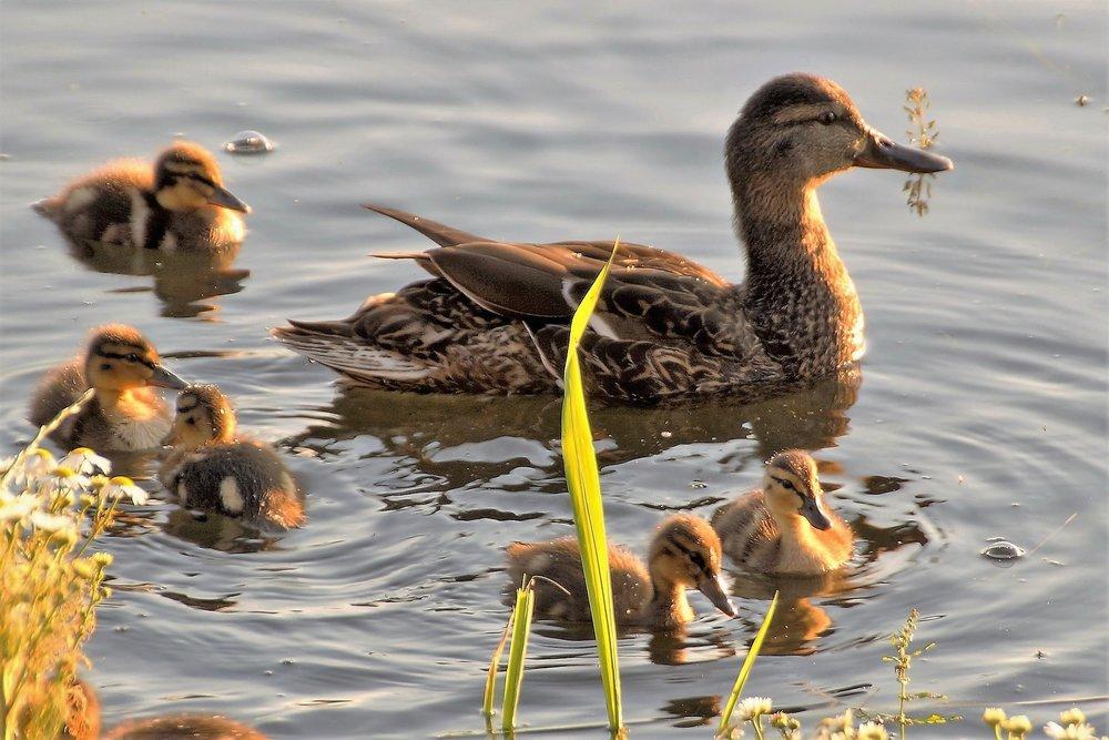 duck-1471798_1920.jpg