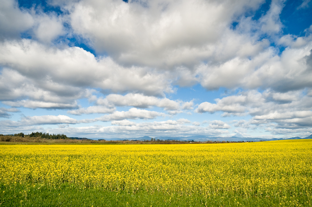 Rapeseed and clouds, Sebastopol, CA USA