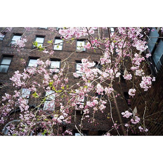 Spring is coming to NYC and Japan #JALjourneynyc #sweepstakes