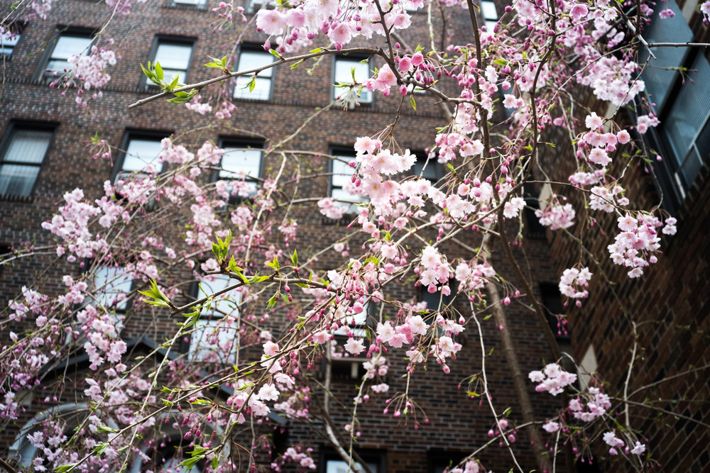 Urban Cherry Blossoms
