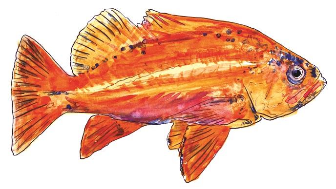 vermilion rockfish.jpg