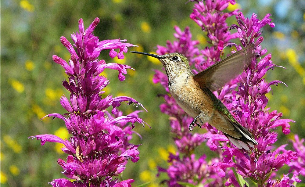 Female Allen's Hummingbird on Agastache cana 'Rosita'