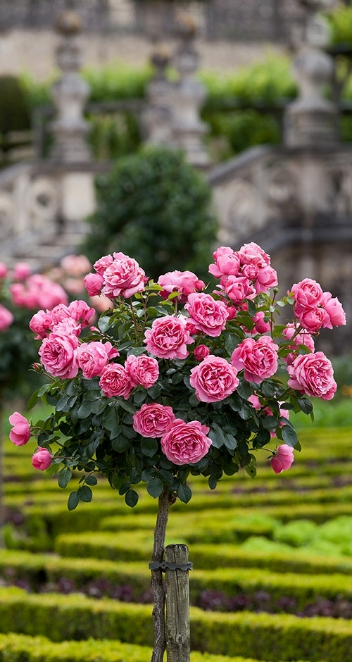 Rose garden at Chateau de Villandry in Loire valley
