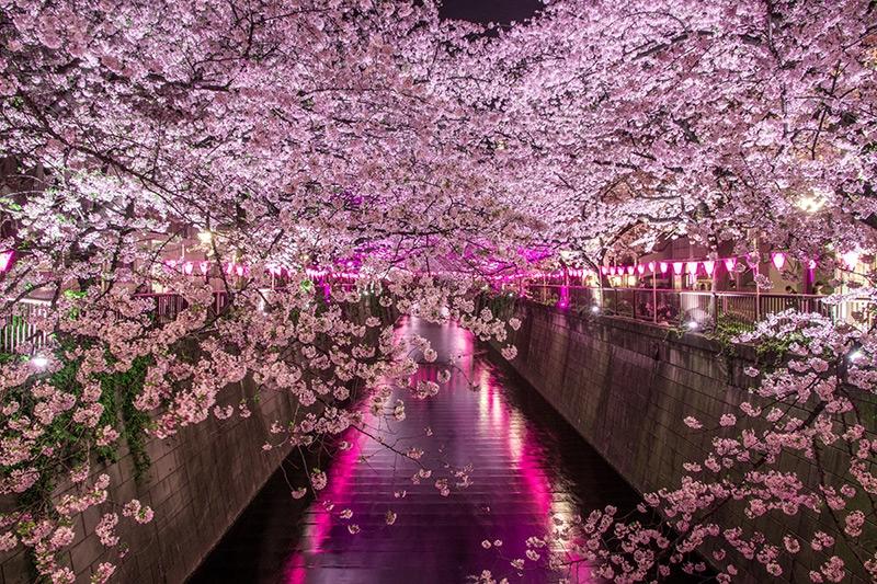 Cherry blossoms, Meguro River, Tokyo