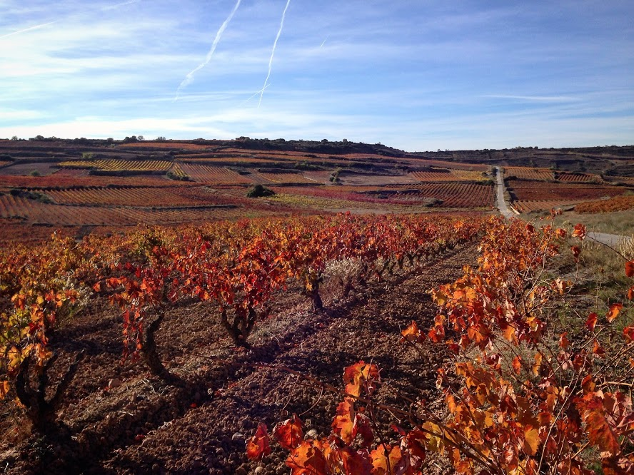 The path between Logroño and Fuenmayor covered with bright red grape vines