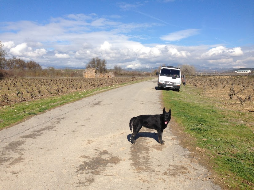 Sometimes Camino dogs like to help guide you