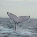 Humpback_whale_fluke_(2).jpg