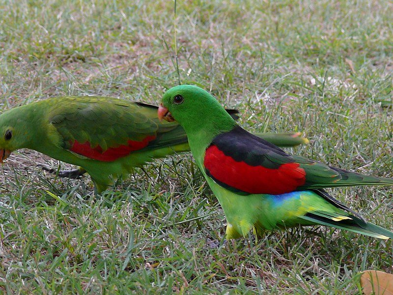 By KityKat79 (originally posted to Flickr as King Parrots!) [CC BY 2.0 (http://creativecommons.org/licenses/by/2.0)], via Wikimedia Commons
