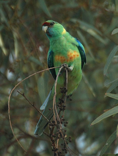 By derivative work: Snowmanradio (talk) Mallee_Ringneck_Bowra.jpg: Tom Tarrant (Mallee_Ringneck_Bowra.jpg) [CC BY-SA 3.0 (https://creativecommons.org/licenses/by-sa/3.0)], via Wikimedia Commons